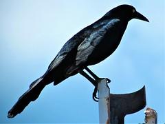 Mexican grackle (thomasgorman1) Tags: mexico bird mexican grackle greattailed longtailed canon blacl blackbird caribbean island isla mujeres
