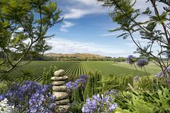 Breckenridge Lodge, Hawkes Bay. (miketonge) Tags: newzealand agapanthus vineyards grapes hawkesbay napier northisland pinotnoir