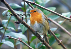 Valentine's Robin (️️️Sassy️️️) Tags: sony sonycamera sonycybershot dsch400 cybershot bird robin redbreast bestphoto bestpic beautiful british britain bright branch tree leave leaves green brown valentinesday valentines happy pretty 7dwf heart air photo photographer photography photographypassion photooftheday photos picoftheday passion photographylover pose valentine animals day colorful style naturaleza classic bokeh blur flikr follow followme flikrcentral