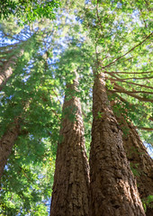 Don't forget to look up (catklein) Tags: redwoods tree tall ucsc beautiful nature