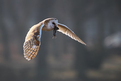 Barn Owl with Vole (Karen Roe) Tags: suffolk county england britain uk unitedkingdom greatbritain gb canoneos760d canon 760d 150600mm sigma zoom wildlife february 2018 peaceful quiet tranquil outside winter weather season camera photography photograph photographer picture image snap shot photo karenroe female flickr visit visitor bird nature flight barnowl vole capture dinner prey wild breakfast male