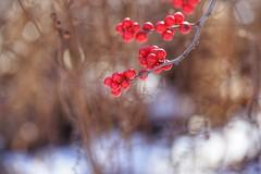 Winter Impression (JPShen) Tags: bokeh sunlight garden beautiful red winter berries
