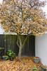Carpet of Leaves (Jocey K) Tags: newzealand nikond750 southisland christchurch tree autumn leaves pots fence garden