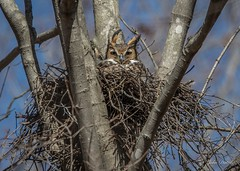 My second newly discovered nesting site in seven days! (flintframer) Tags: nesting female great horned owl raptors indiana harrison county color wow dattilo nature wildlife nest canon eos 7d markii ef600mm 14x