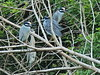 Yellow-crowned Night-Herons 03-20180114 (Kenneth Cole Schneider) Tags: florida miramar westmiramarwca
