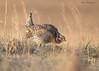Sharp-tailed Grouse on the lek (sbuckinghamnj) Tags: grouse sharptailedgrouse chicken bird nebraska