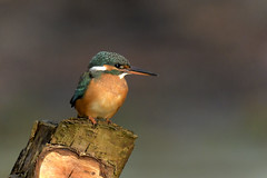 Kingfisher (Kentish Plumber) Tags: kingfisher bird perched pond woodland nature countryside wildlife