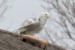 Snowy Owl stretches its legs