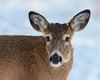 FirstAntlers (jmishefske) Tags: 2018 buck nature d500 center whitnall milwaukee franklin january antler wildlife wisconsin wehr park whitetail fawn deer nikon