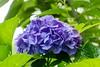 Hiding (sal tinoco) Tags: hydrangea flower flora floral nature outdoors fantasticflower