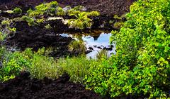 Hawaii-LonePalm-33.jpg (Chris Finch Photography) Tags: hawaiiphotography sunset kohala volcano chrisfinchphotography landscapephotography ʻanaehoʻomalubay goldcoast landcapes landscape waikoloa sunsets pacificocean abay hawaiianphotography shoreline kohalacoast kiholobay landscapephotographs landscapephotographer lone lonepalm beach ocean utahphotographer keawaikibay chrisfinch volcanoes hawaii blacksandbeach bigisland pacific coast wwwchrisfinchphotographycom shore