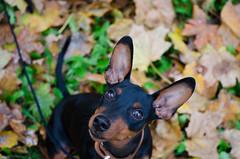 Autumn (Doberman.lady) Tags: autumn fall dog puppy pupper doggo miniaturepinscher minpin sweet baby miniature pinscher czech