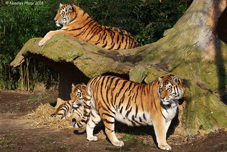 Duisburger Tigerfamilie -  Duisburg Tiger Family  (in explore 08.02.2018)