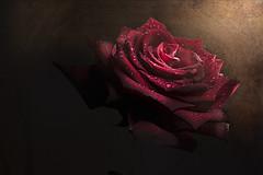Romance (marcello.machelli) Tags: red rose redrose rosso rosa rossa luce raggio flower fiore gocce macro drops whaterdrops romance romantico love amore valentine sanvalentino nikond810 nikon sigma sigmaapomacro15028