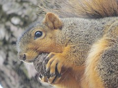 IMG_2687 (kennethkonica) Tags: nature animalplanet animal animaleyes autumn canonpowershot canon usa america midwest indianapolis indiana indy color outdoor wildlife claws squirrel rodent cute