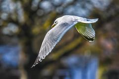 big  bird not a seagull (Paul Wrights Reserved) Tags: bird birding birdphotography birdwatching birdinflight