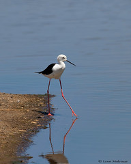 Testing the water (leendert3) Tags: leonmolenaar southafrica wildlife nature krugernationalpark birds blackwingedstilt ngc npc coth5