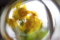 Daffodils, rotated (zubzubadoodle) Tags: ks1 samyang 8mm fisheye blur daffodil icm rotation abstract