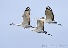 Flying Away (Gary Grossman) Tags: cranes birds trio nature wildlife winter wild garygrossmanphotography weaksunlight winterlight birdsinflight beauty grace flyers flying sandhillcranes wildlifeart pacificnorthwest