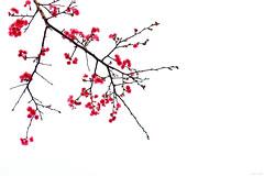 點染勾勒心運筆 Picturesque (Singer 晴哥) Tags: canon6d canonef70200mmf28lisiiusm 小白兔 二代鏡 1200sec f4 iso640 70mm 點染勾勒心運筆 如畫 picturesque 國畫風格 淨界 境界 意境 淨即境 禪zen 唯心論 心物合一 極簡風 單純 純粹pure 八重櫻 重瓣緋寒櫻 櫻花 櫻 cherryblossoms sakura 紅red 樹tree 櫻姿 姿態posture 花flower 植物plant 小品 角落 對角線 枝幹 花太多反而會不好看 方向性 延伸性 重心 局部 留白white 構圖composition 風景 花卉flower 攝影photography 臺灣 台灣taiwan 台北taipei 臺北市 內湖區 singer蕭 singer 晴哥 晴式風格 highkey