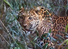 JULIUS (babsbaron) Tags: katzen cats leopard chinesisch big canon eos zoo erlebniszoo hannover raubtier predator raubkatzen grosskatzen jäger hunter