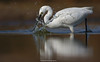 Little Egret Hunting ! (Jawad_Ahmad) Tags: nature natureart naturephotographer naturephotography beautyofnature birds birdwatcher bird birdphotography littleegret fish water suns evening flicker sialkot pakistan jawadsphotography