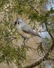 Tufted Titmouse (KvonK) Tags: bird nature wild winter perched tuftedtitmouse kvonk 2018 february nikon200to500mm