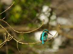 endcliffe park kingfisher sheffield 2018 (17) (Simon Dell Photography) Tags: endcliffe park bingham whitley woods forge dam kingfisher bird rare blue orange winter spring grey animal nature together wildlife sheffield botanical gardens simon dell photography 2018 feb 24 sunny detail high res perched sitting fishing