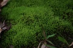 Moss (bamboosage) Tags: meyeroptik gorlitz oreston 1850 m42