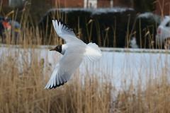Black headed gull (Caulker) Tags: park aberford gull flying snow cane
