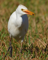 CATTLE EGRET (Original Art Work) Tags: jupiterfl cattle egret white bird jupiter fl whitebird