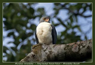 Slaty-backed forest-falcon