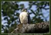 Slaty-backed forest-falcon (Jan H. Boer, Nature photographer) Tags: micrasturmirandolleislatybackedforestfalcon mirandollesbosvalk birds raptors nature wildlife costarica tortuguero nikon d500 afsnikkor200500f56eedvr jan´sphotostream2018