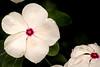 Impatiens-White 3-0 F LR 9-16-17 J198 (sunspotimages) Tags: flower flowers impatien impatiens whiteflower white whiteflowers whiteimpatien whiteimpatiens nature