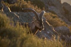 Spanish Ibex (ramosblancor) Tags: naturaleza nature animales wildlife mamíferos mammals cabramontés spanishibex spanishwildgoat caprapyrenaica macho male adulto adult contraluz backlight peñadefrancia salamanca españa spain