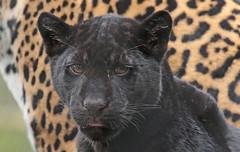 jaguar artis BB2A9594 (j.a.kok) Tags: jaguar jaguarcub jaguarwelp zwartejaguar blackjaguar artis animal kat cat mammal zoogdier dier southamerica zuidamerika predator