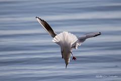 MLS 2-2833 - jump in the blue (Matteo La Salandra) Tags: manfredonia matteo lasalandra gabbiano comune chroicocephalus ridibundus blackheaded gull
