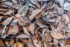 Winterlaub (Joachim S.) Tags: blätter eis frost kalt laub natur raureif wald winter thun bern switzerland ch