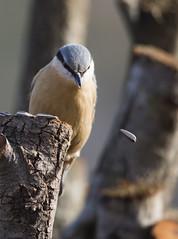 Sitelle Torchepot (Doriane Boilly Photographie Nature) Tags: sittelle torchepot birds jardin nourriture affut campagne oiseaux
