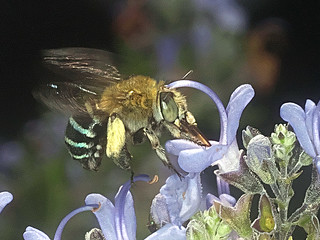 Banded bee P1033450