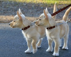 Adorable Puppies (swong95765) Tags: dogs animal canine young leash cute alert