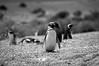 Punta Tombo (cuiti78) Tags: punta tombo chubut argentina penguins pinguinos
