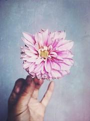 oui (meeeeeeeeeel) Tags: iphone iphoneography hipstamatic mão hand flor flower dália dahlia flowers flores garden jardim nature natureza