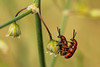 Rode aspergekever - Crioceris duodecimpunctata - Spotted Asparagus Beetle (merijnloeve) Tags: berkheide k xiii zh vlaggenduin katwijk aan zee gemeente rode aspergekever crioceris duodecimpunctata spotted asparagus beetle macro macrophoto bugs insect small macrophotography