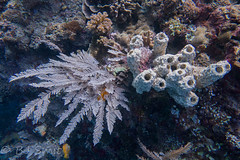 Stinging hydroid and sponges... Explored :) (BJSmit) Tags: 2016 indonesia northsulawesi diving corals explored explore sponge stinginghydroid hydroid