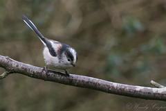 Long Tailed Tit-6772 (WendyCoops224) Tags: 80d canon eos gardenbirds ©wendycooper long tailed tit