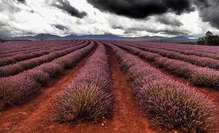 IMMINENT STORM OVER BRIDESTOWE LAVENDER ESTATE