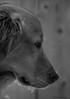Frowny Face (John Neziol) Tags: jrneziolphotography portrait petphotography pet dog petphotographer animal animalphotography brantford beautiful blackwhite bokeh monochrome mammal goldenretriever intense fieldretriever dognose snow outdoor nikon nikondslr nikoncamera nikond80 naturallight