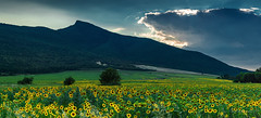 Sunflowers at sunset (Milen Mladenov) Tags: 2016 belogradchik bulgaria july landscape northwest northwestbulgaria panorama varbovchets blue clouds field forest green hill mountain nature season sky summer sunflower sunflowers sunflowersfield wood woods yellow
