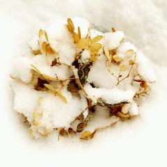 Wintering Over (26.3andBeyond) Tags: flower hydrangea macro winter snow white flora botanical